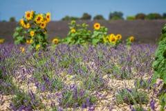europe kwitnący niekończący się pola kwitną France lawendowi plateau Provence rzędy czującego valensole Valenso Obraz Stock