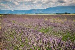 europe kwitnący niekończący się pola kwitną France lawendowi plateau Provence rzędy czującego valensole Valenso Zdjęcie Royalty Free