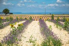 europe kwitnący niekończący się pola kwitną France lawendowi plateau Provence rzędy czującego valensole Valenso Zdjęcia Royalty Free