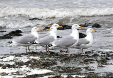 Europe, Seagulls at beach front. Gulls or seagulls are seabirds and typically medium to large birds, usually grey or white, often with black markings on the head royalty free stock images