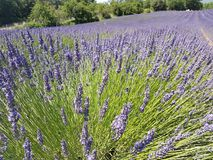 Europe. South of France. Provence. Voucluse region. Typical edge: cultivation of lavender. Europe. South of France. Provence region. Voucluse region. Typical stock photos