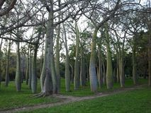 Europe. Spain country. Valencia city. Baobab`s park in sunny day. January 2016 royalty free stock image