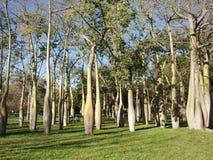 Europe. Spain country. Valencia city. Baobab`s park in sunny day. January. 2016 royalty free stock photo