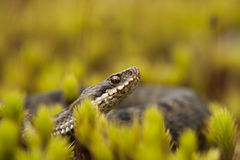 European Adder Royalty Free Stock Photos