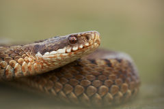 European Adder Royalty Free Stock Image