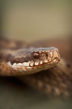 European Adder Stock Photography