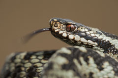 European Adder Stock Photos