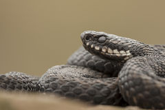 European Adder. A male Adder, Britains only venomous snake, with eyes that have clouded and lost their distinctive red colour. The cloudy eye is in indication royalty free stock photo