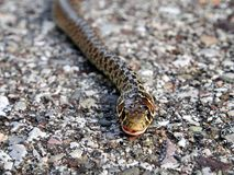 European Adder. Common European adder, or viper, poisonous, not very dangerous but commonly feared Stock Images