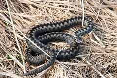 European adder Royalty Free Stock Images