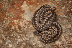 European Adder on Sandstone Royalty Free Stock Photography