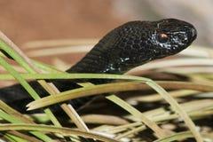 European Adder or Viper Stock Photos