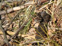 European adder Vipera berus Stock Photography