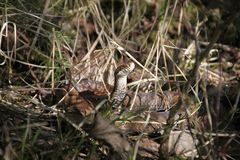 European adder (Vipera berus) Stock Photography