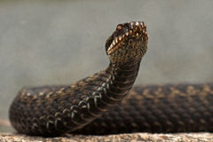 European adder Vipera berus Royalty Free Stock Photos