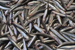 European anchovy Stock Images