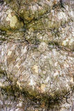 European ash - detail view of tree bark Royalty Free Stock Photography