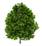 European ash tree isolated on white Stock Photos
