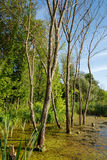 European ash trees in a marsh Royalty Free Stock Images