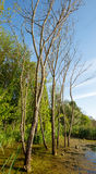 European ash trees in a marsh Stock Images