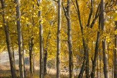 European aspen grove in autumn. Stock Photos