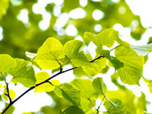 European aspen tree Royalty Free Stock Image