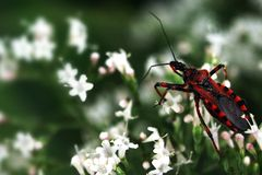 Free European Assassin Bug Royalty Free Stock Images - 54798509