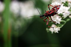 European assassin bug Royalty Free Stock Images