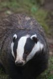 European Badger Royalty Free Stock Images