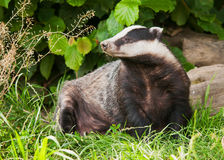 European Badger Stock Photo