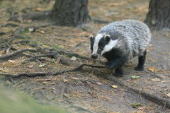 European badger Stock Photography