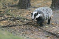 European badger. The adult european badger on the soil Stock Photography
