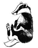 European badger - animal illustration Royalty Free Stock Image