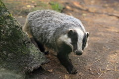 European badger Royalty Free Stock Image