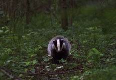 European Badger cub Royalty Free Stock Photos