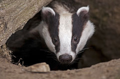 European Badger Stock Photos