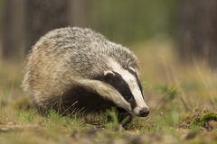 European Badger Royalty Free Stock Photography