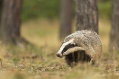 European Badger Stock Photos