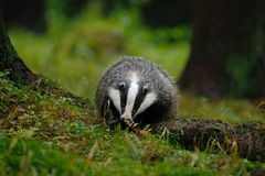 European badger in the forest. Animal in the nature habitat, Germany, central Europe. Wildlife summer scene from dark green forest Stock Images
