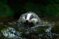 European badger in forest creek. Animal in the nature forest habitat, Germany Stock Photography