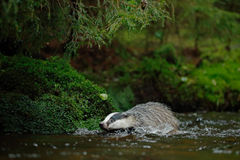 European badger in the forest, swimming in the water, animal in the nature forest habitat, Stock Photos