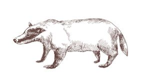 European badger hand drawn with outlines on white background. Elegant sketch drawing of carnivorous wild forest animal. Beautiful mammal. Monochrome vector royalty free illustration