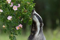 European Badger Is Sniffing A Wild Rose Flower Stock Photo