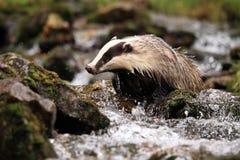 European badger, lat. Meles meles royalty free stock photo