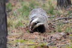 European badger, lat. Meles meles making a hole Stock Image