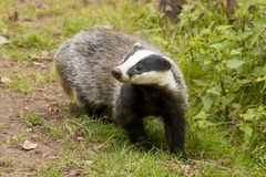 European Badger Meles meles adult stock photos