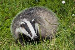 European badger Royalty Free Stock Photo
