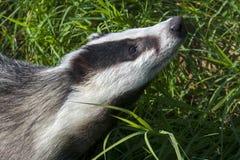 European badger Royalty Free Stock Photos