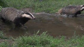 European Badger, meles meles, Pair running through Water, Normandy stock video