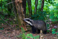 European badger. The European badger (Meles meles) is a species of badger in the family Mustelidae and is native to almost all of Europe. It is classified as Royalty Free Stock Photos